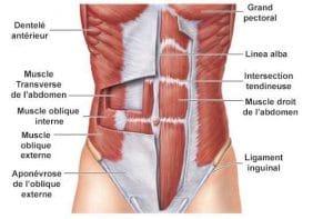 muscles de la sangle abdominale