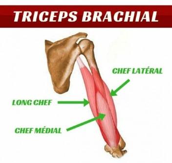 schema du triceps brachial