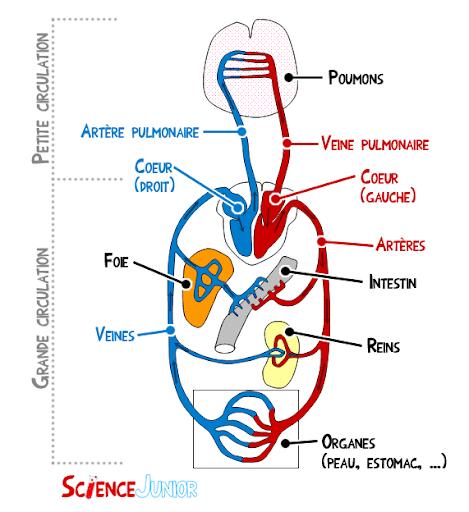 illustration du systeme cardio respiratoire